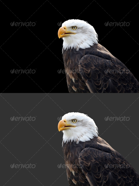 Eagle #3 - Nature & Animals Isolated Objects