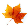 Fall Leaf - PhotoDune Item for Sale