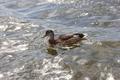 Duck - PhotoDune Item for Sale