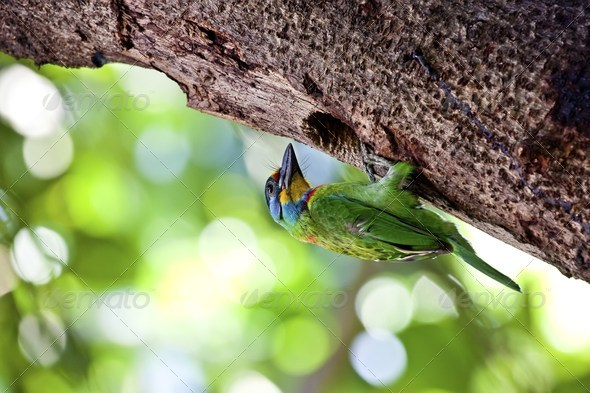 Muller's Barbet - Stock Photo - Images
