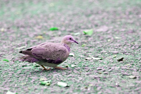 Spooted-necked Dove - Stock Photo - Images