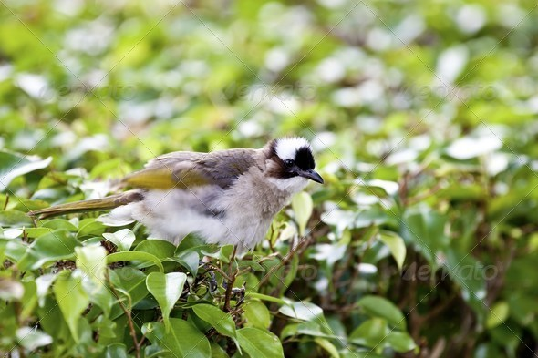 Chinese Bulbul - Stock Photo - Images