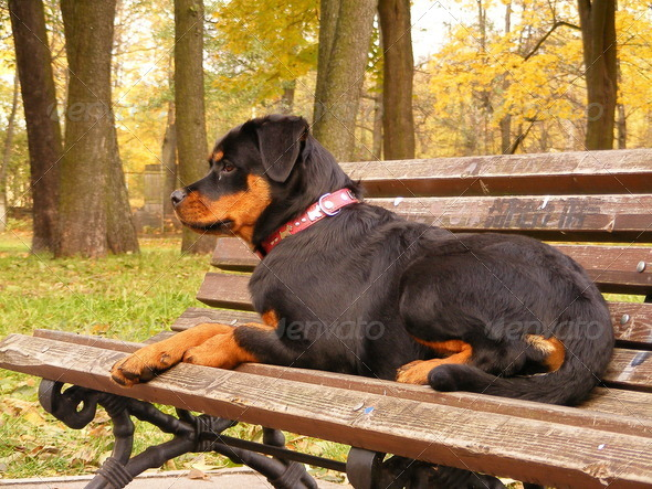 Rottweiler lying on the garden bench - Stock Photo - Images