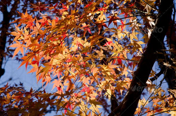 Colorful autumn leaves on tree - Stock Photo - Images
