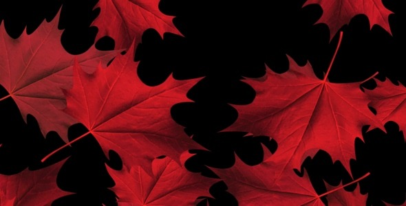 Red Maple Leaves Loop Full HD