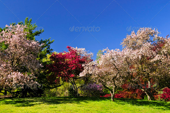 Blooming Fruit Trees In Spring Park - Stock Photo - Images