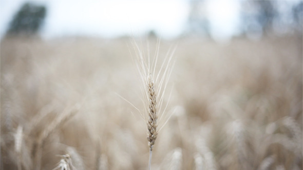 [VideoHive 2782328] Wheat In The Wind | Stock Footage