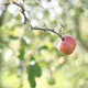 Apple On The Tree - VideoHive Item for Sale