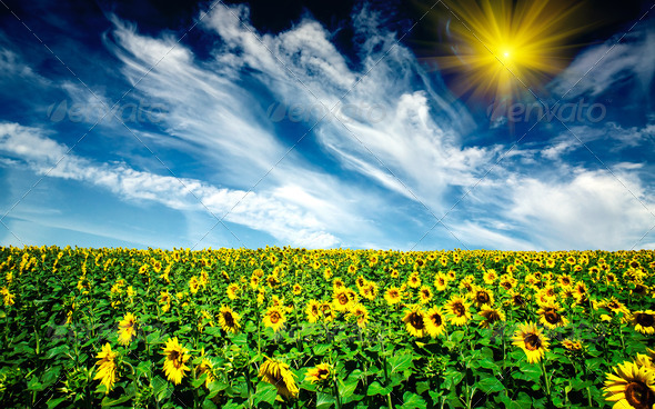 Cloudy blue sky  and sunflowers field. - Stock Photo - Images
