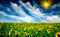 Cloudy blue sky  and sunflowers field. - PhotoDune Item for Sale