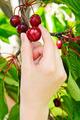 Hand Picking Cherries