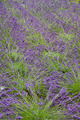 Lavender - PhotoDune Item for Sale