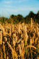 Wheat - PhotoDune Item for Sale
