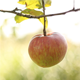 Apple On The Tree 2 - VideoHive Item for Sale