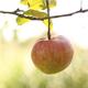 Apple On The Tree 2