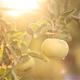 Apples On The Tree 3
