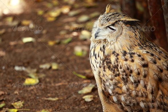 Portrait of a great horned Owl - Stock Photo - Images