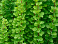 background of green branches and leaves of barberry - PhotoDune Item for Sale