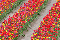 Beautiful coloured tulips in the Netherlands - PhotoDune Item for Sale