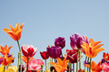 Lovely multicolored tulips against a blue sky - PhotoDune Item for Sale
