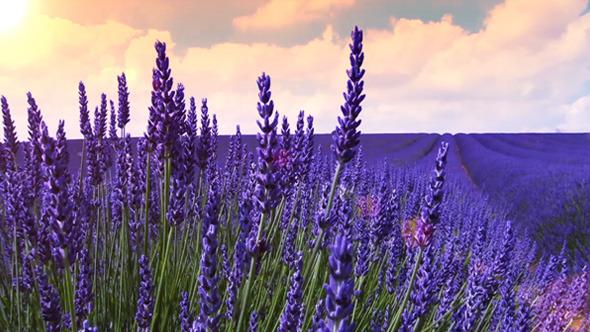 Image result for lavender field