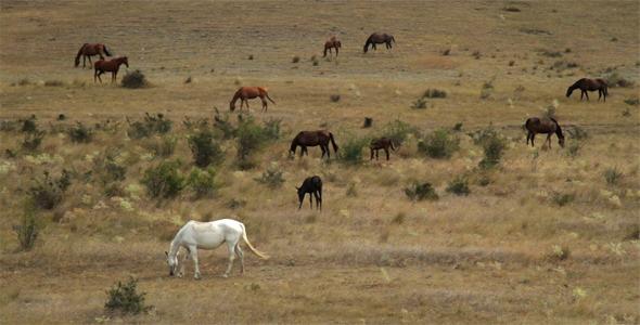 Wild Horses Graze On Dry Hills