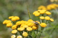 Flying Insect on Yellow Flowers - PhotoDune Item for Sale