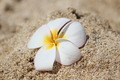 White and Yellow Frangipani Plumeria on Beach Sand - PhotoDune Item for Sale