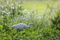 White Egret Bird in Grass - PhotoDune Item for Sale
