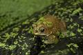 Frog - PhotoDune Item for Sale