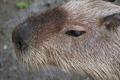 Capybara - PhotoDune Item for Sale