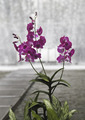 Orchid Flower - PhotoDune Item for Sale
