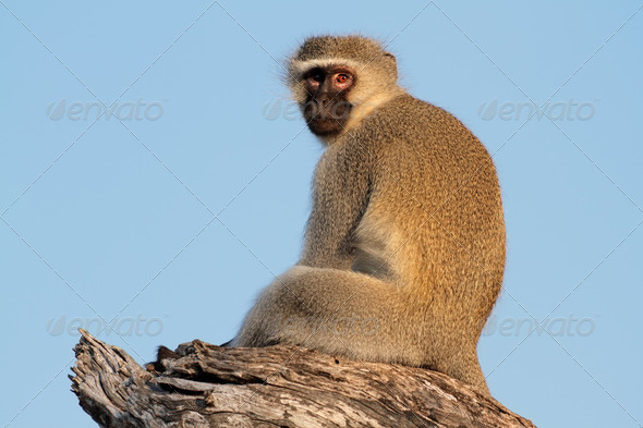 Vervet monkey - Stock Photo - Images