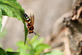 Cicada killer wasp - PhotoDune Item for Sale
