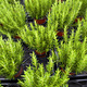 rosemary plants in basket - PhotoDune Item for Sale