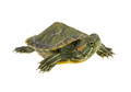 small water turtle - PhotoDune Item for Sale