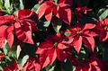 Poinsettia Red Flower - PhotoDune Item for Sale