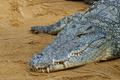Crocodile - PhotoDune Item for Sale