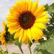 Sunflower - PhotoDune Item for Sale