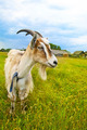 brown and white goat in th field - PhotoDune Item for Sale