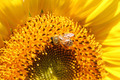 Sunflower with honey bee - PhotoDune Item for Sale