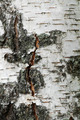 White birch tree - PhotoDune Item for Sale