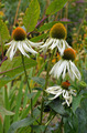 White echinacea flowers - PhotoDune Item for Sale