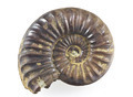 Ammonite Fossil - PhotoDune Item for Sale