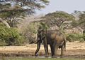 African elephant - PhotoDune Item for Sale
