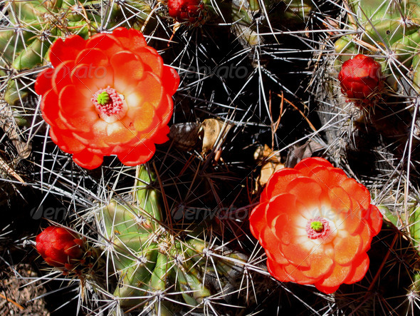 Blooming claret cup cactus flowers - Stock Photo - Images