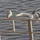 Seagull Ousts Other Seagulls From Seat - VideoHive Item for Sale