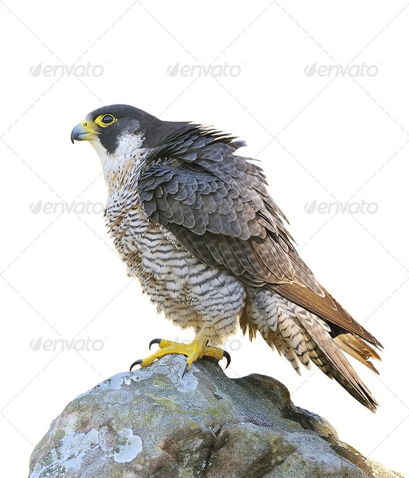 Peregrine Falcon. - Stock Photo - Images