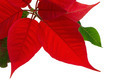 Poinsettia isolated - PhotoDune Item for Sale