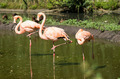 flamingos in zoo - PhotoDune Item for Sale